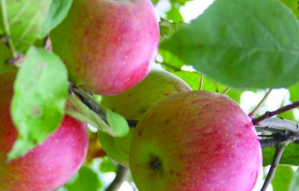 la mela rosa